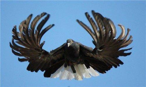 13 серпатый голубь