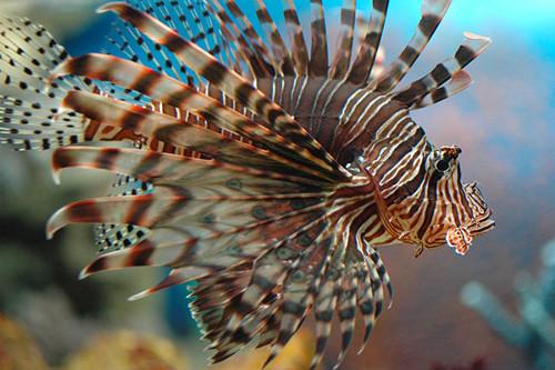 7а лучистая крылатка