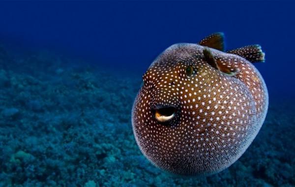8а рыба-шар