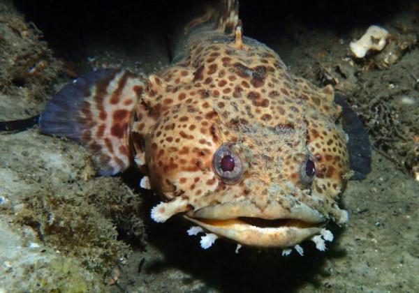 11 рыба-жаба