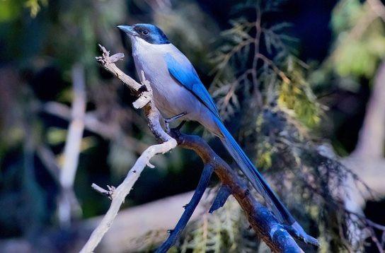 голубая сорока