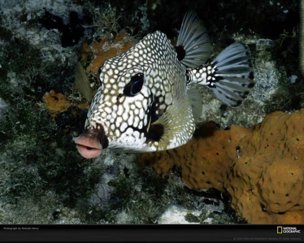кузовковая рыба