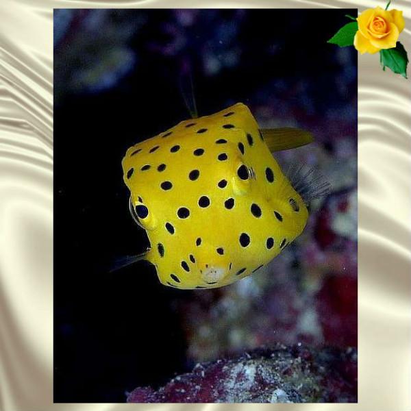 рыба-кубик