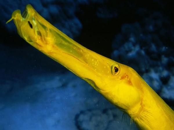 рыба-раструб