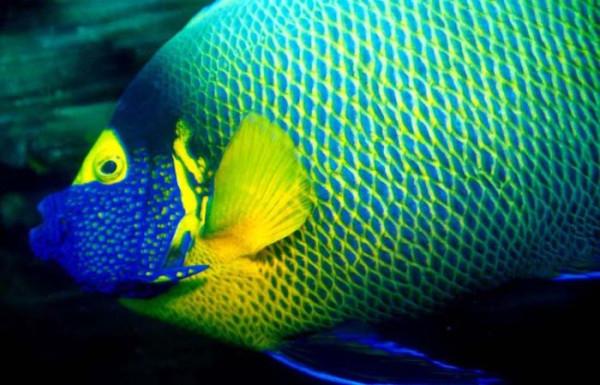 сине-желтая