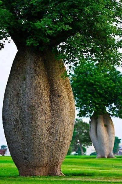 5 бутылочное дерево