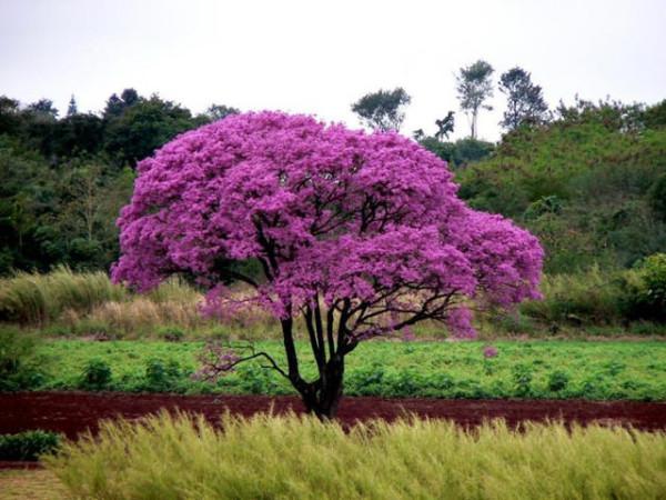 17 муравьиное дерево