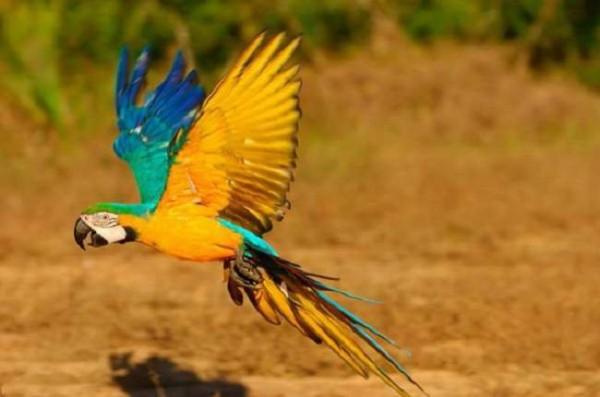 1 сине-желтый ара