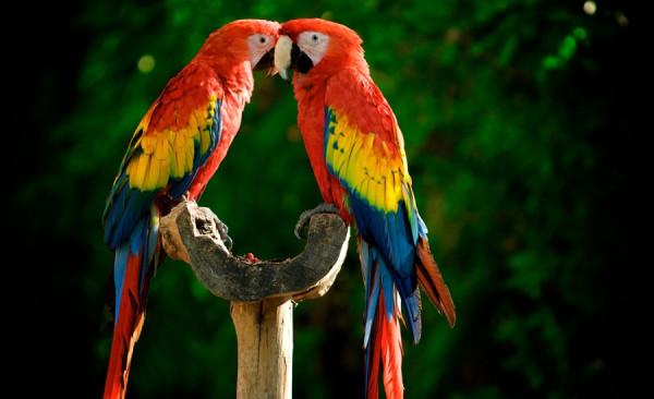 2в красный ара