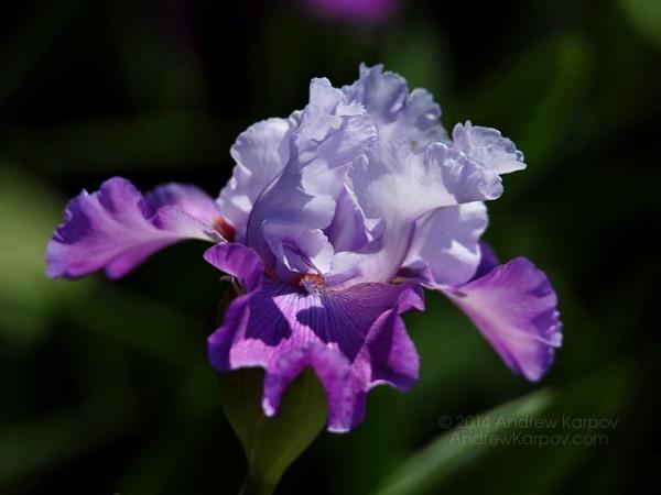 Это - день цветов и поздравлений3 ирис