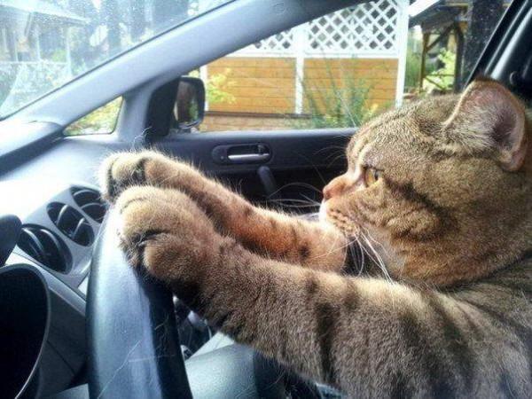 кот-автомобилист