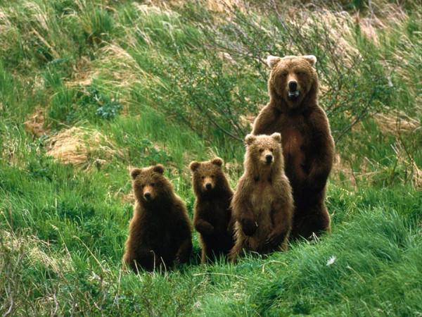 мама и медвежата