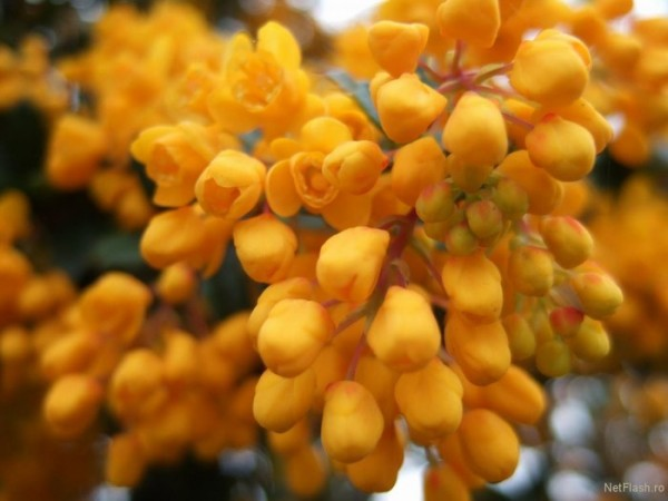 желтые гроздья