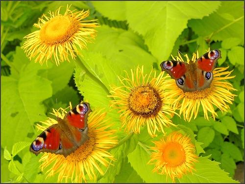 желтые цветы и бабочки