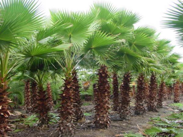 пальма Вашингтона1