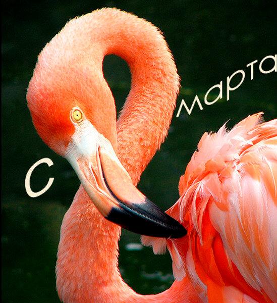 8 марта фламинго
