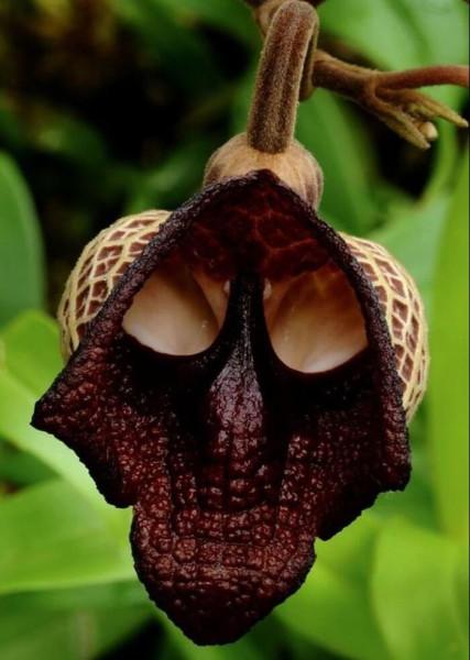 9 цветок Дарта Вейдера