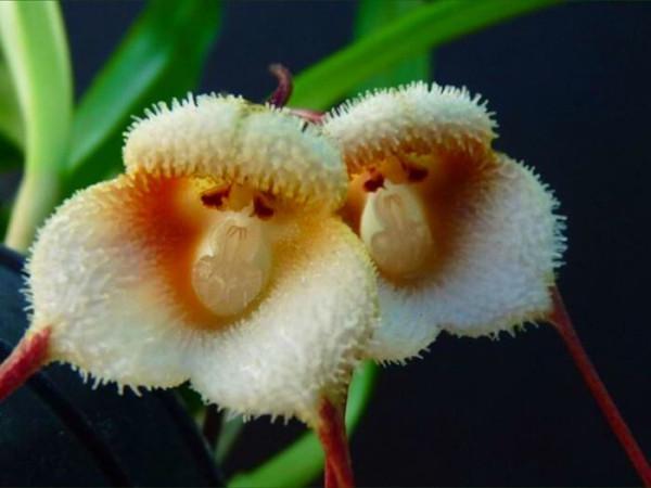 13 орхидея-обезьяна