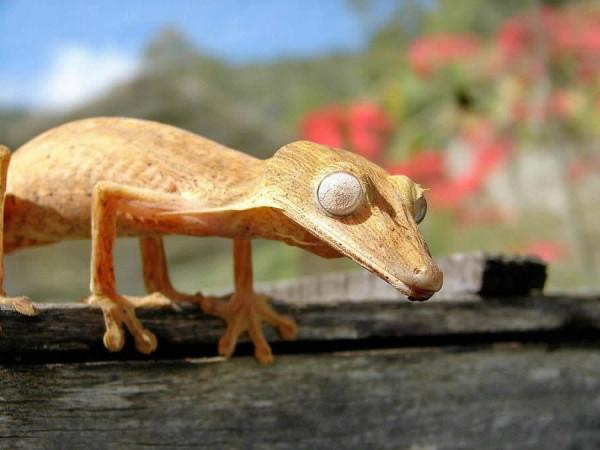 геккон бежевый