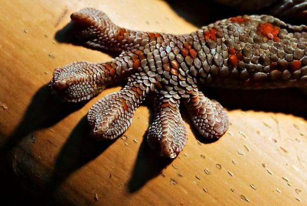 геккон лапа