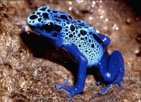 голубая пятнистая