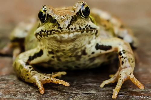 жаба2