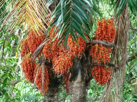 бетелевая пальма арека