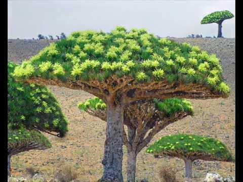драконовое дерево2