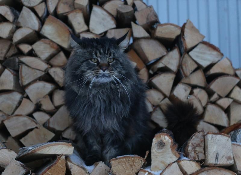Варлак на дровах