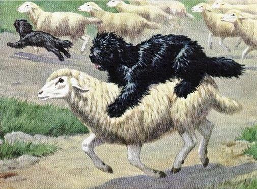 Собаки и овцы