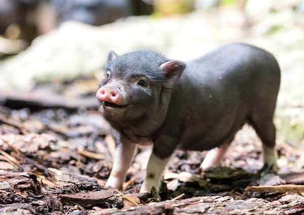 Карликовая свинья_2
