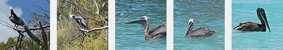 Guana Pelicans2014FlickrSet