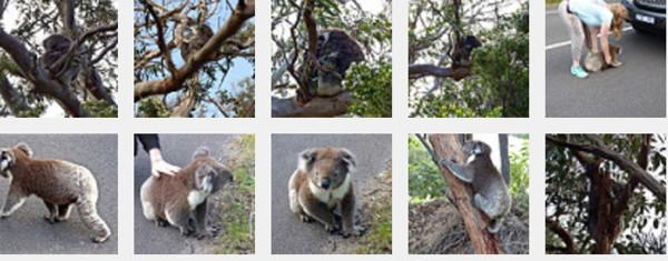 KoalasFlickrSet.jpg