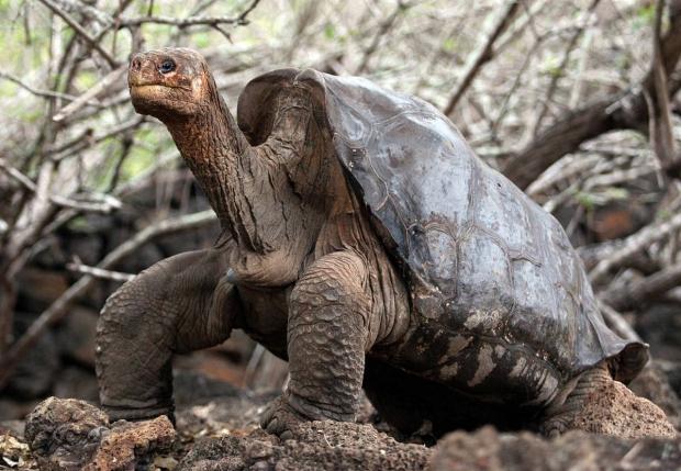 Самец галапагосской черепахи