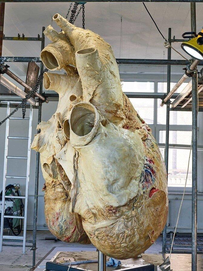 сердце кита
