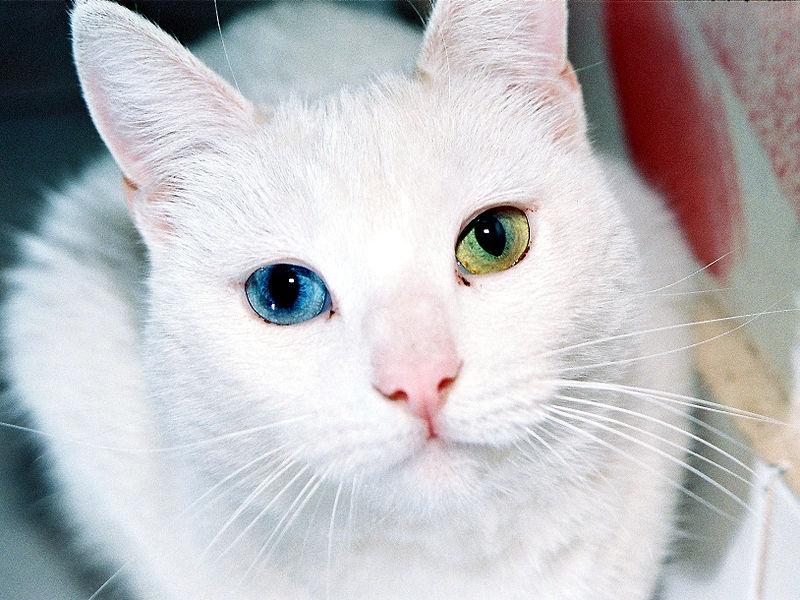Животные с голубыми глазами