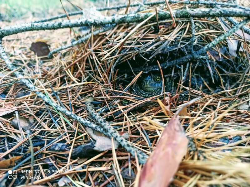 Болотная черепаха - Emys orbicularis