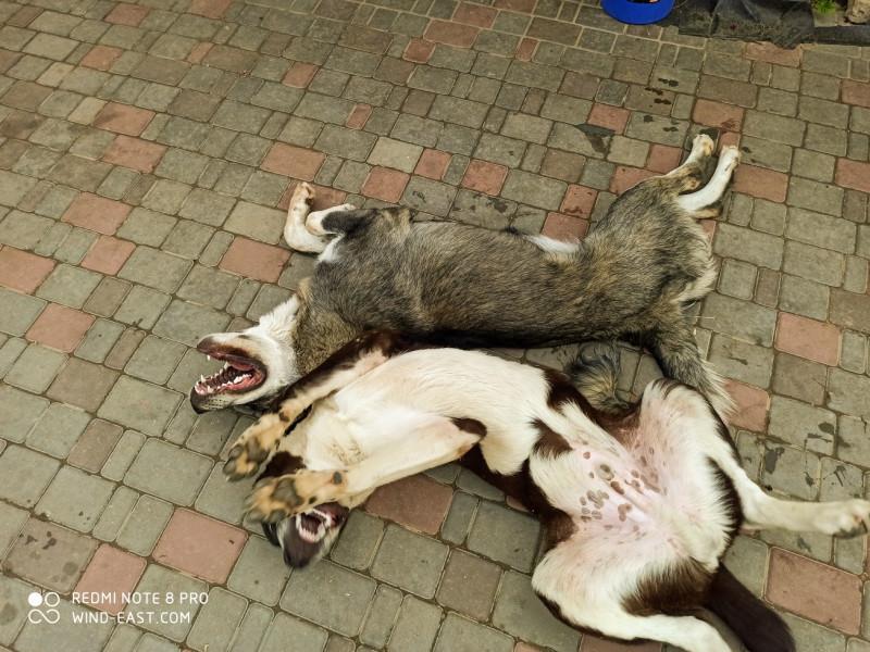 Собаки барабаки