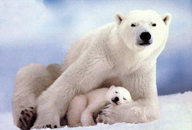 Arctic_Ocean_bears