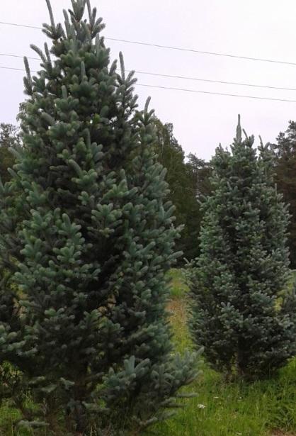 Silvery-spruce