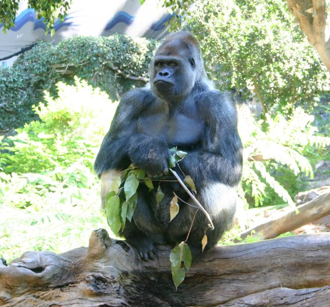 gorilla4