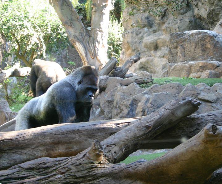 gorilla7