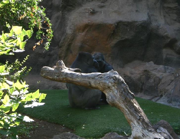 gorilla8