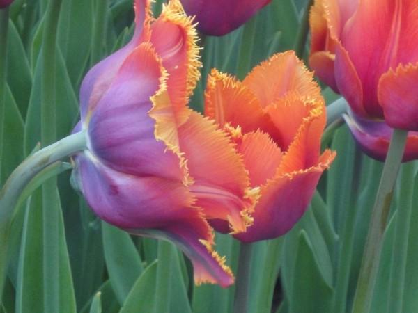 Закрываем тему тюльпанов
