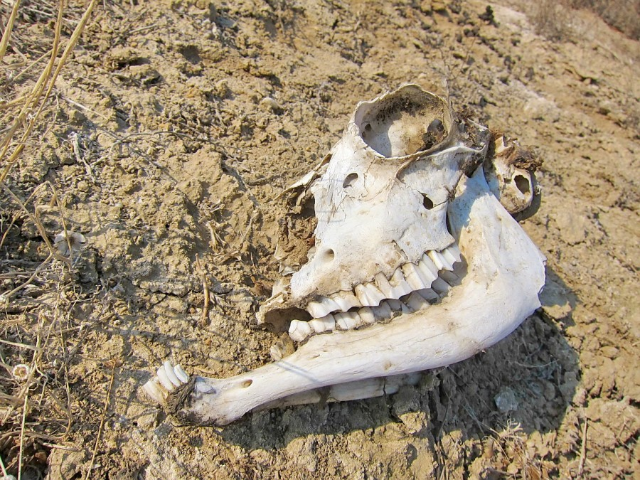 череп самки джейрана