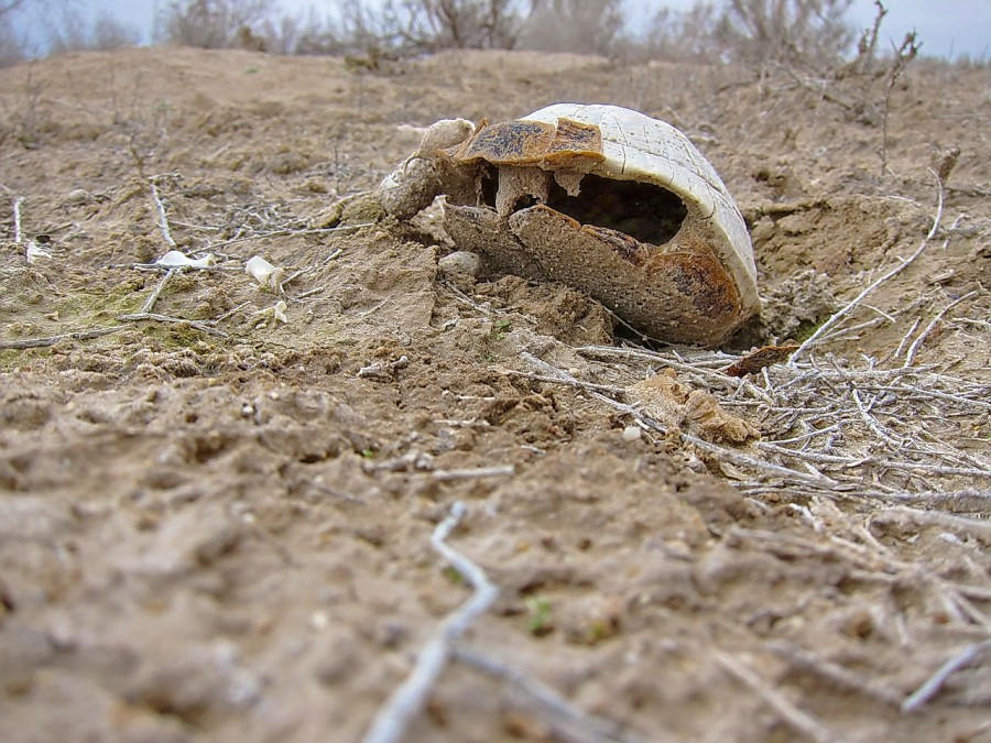 панцирь среднеазиатской черепахи