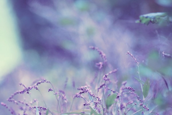 lavender_winds_wallpaper_by_DyingBeautyStock1