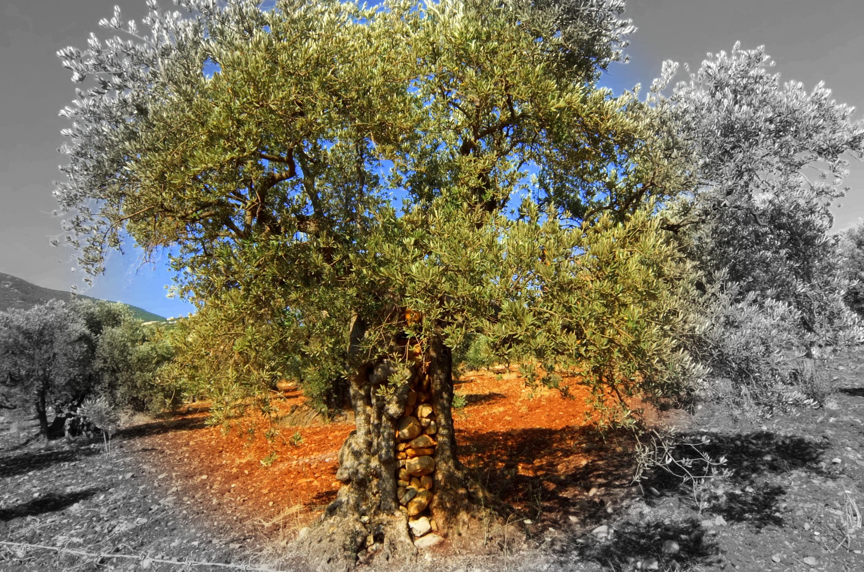 olivestones