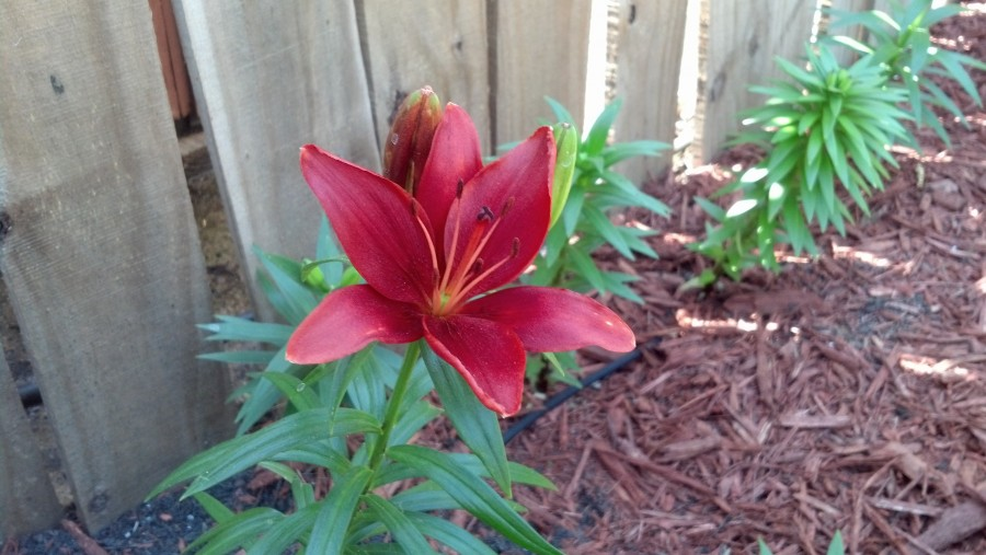 First Lily