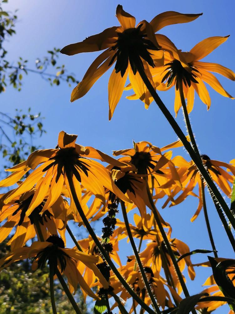 Голубое небо сквозь золотые лепестки рудбекии